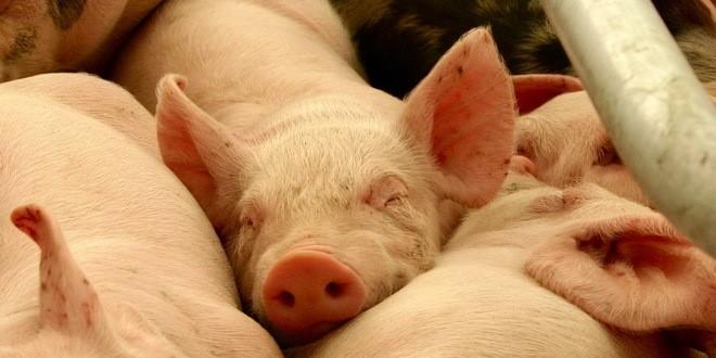 tovne-svinje