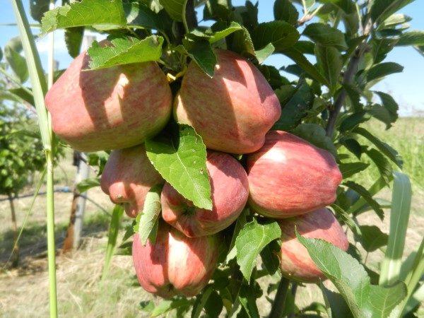 jabuka-srednji-banat-mala-grana