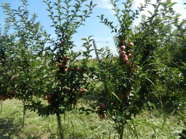 jabuka-srednji-banat-bez-mreže