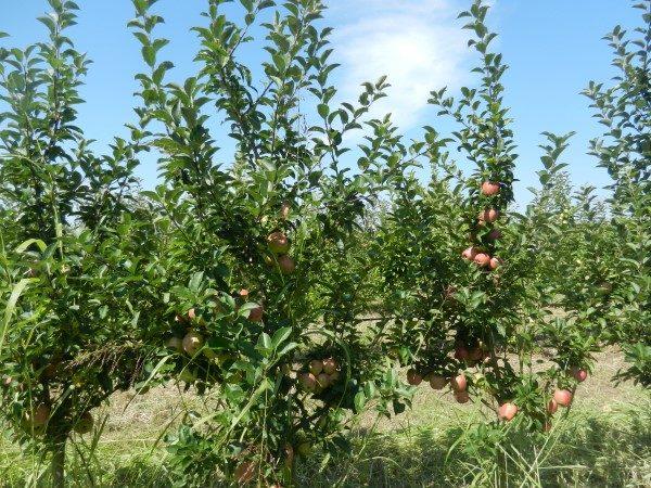 jabuka-srednji-banat-vocnjak