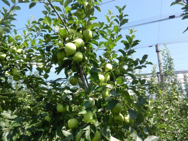 jabuka-srednji-banat-velika-grana
