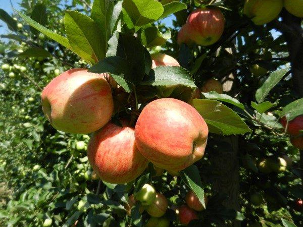 jabuka-srednji-banat-krupno