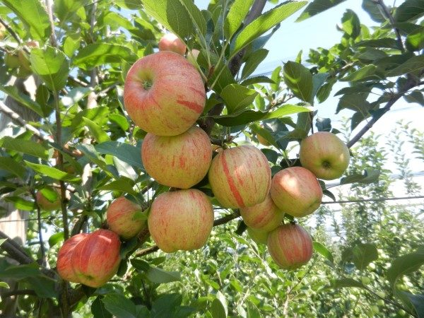jabuka-srednji-banat-grana