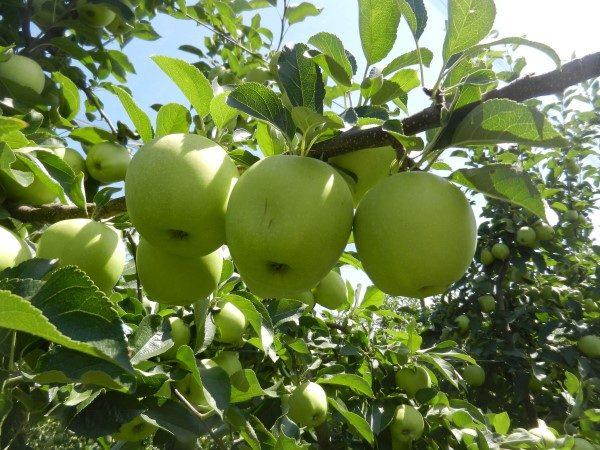 jabuka-srednji-banat-zlatnid