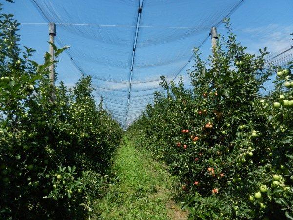 jabuka-srednji-banat-velika-mreža