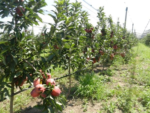 jabuka-srednji-banat-cdelišes