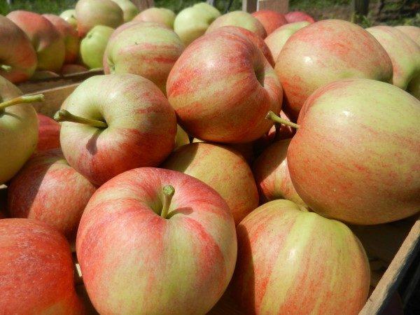 jabuka-srednji-banat-gajba