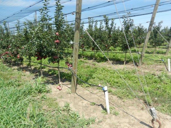 jabuka-srednji-banat-sa-mrežom