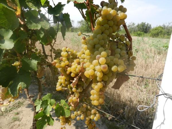 grozdje-melenci-belo-posebno