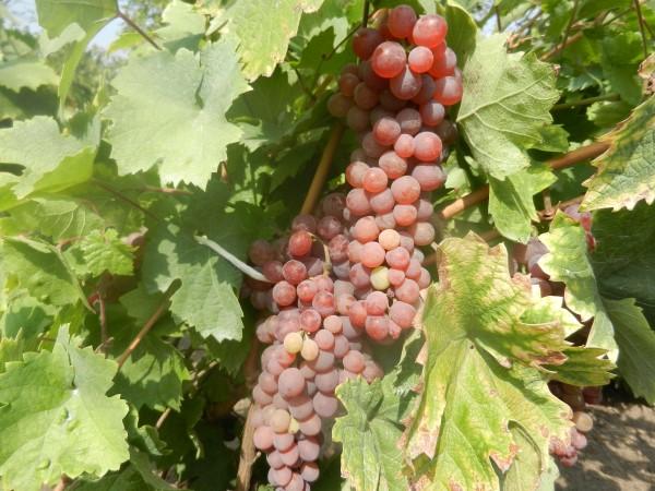 grozdje-melenci-cokot-rose