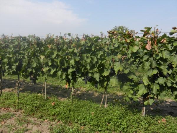 grozdje-melenci-vinograd-kontra