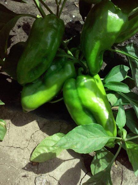 paprika-zelena-njiva-custom