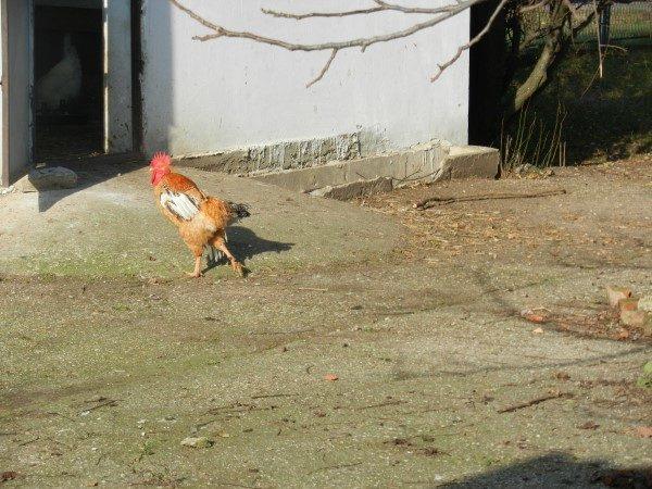 Poljoprivredna-skola-petao