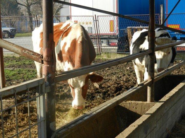 Poljoprivredna-skola-dve-krave