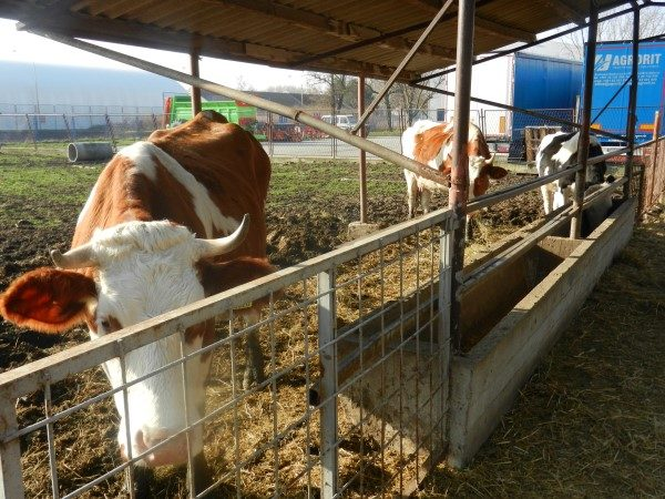Poljoprivredna-skola-krave