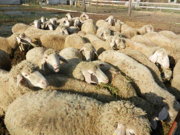 Poljoprivredna-skola-puno-ovaca