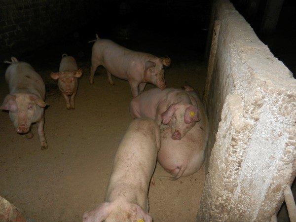 Poljoprivredna-skola-puno-svinja
