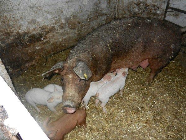Poljoprivredna-skola-svinje-prasici