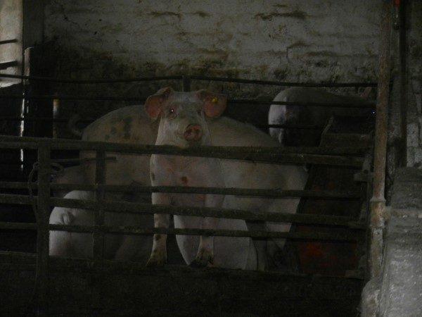 Poljoprivredna-skola-svinja-stoji