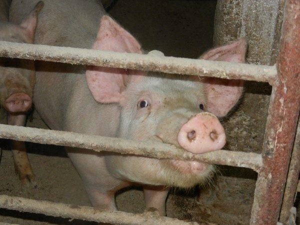 Poljoprivredna-skola-svinja-grize