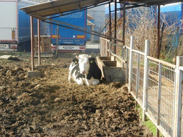 Poljoprivredna-skola-krava