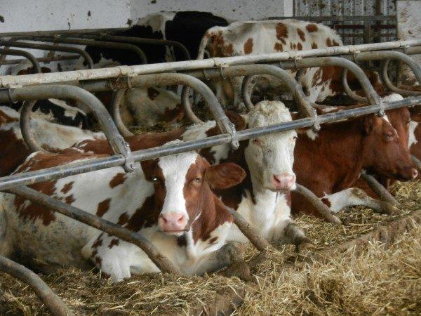 stocarstvo-tras-krave