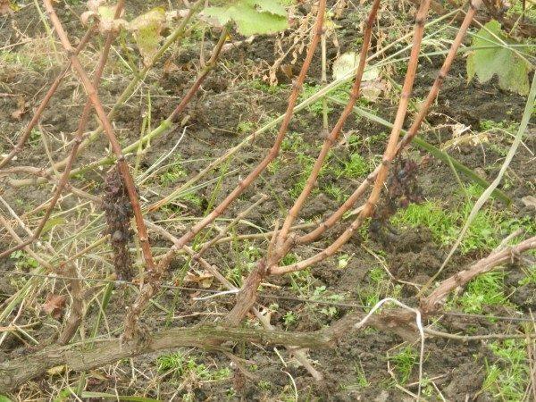 vinograd-koren